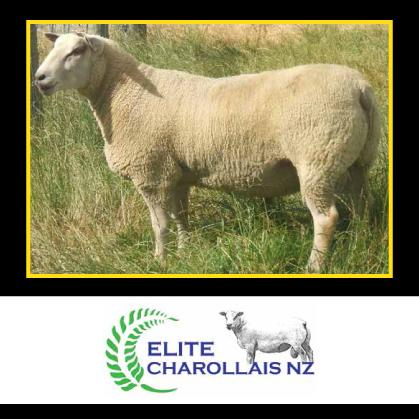 Elite Charollais - 28 November 2017